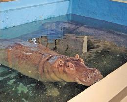 <八木山動物公園>カバにかまれ大けが 女性飼育員 餌やり体験中止へ | 河北新報オンラインニュース