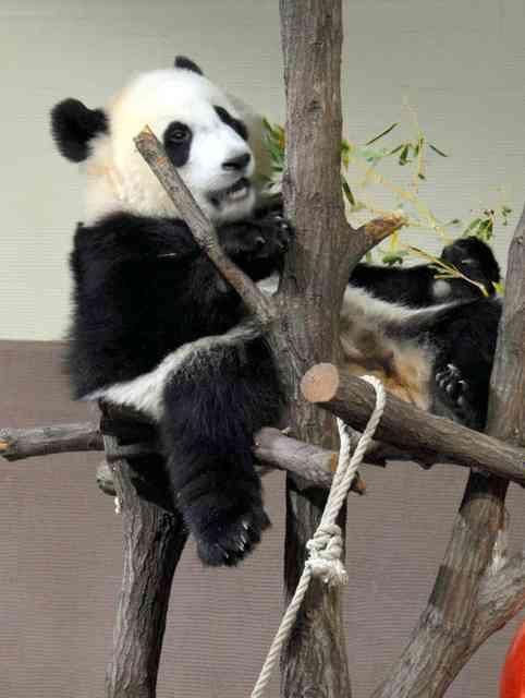 「パンダは和歌山にも」知事、シャンシャン報道に注文 (朝日新聞デジタル) - Yahoo!ニュース