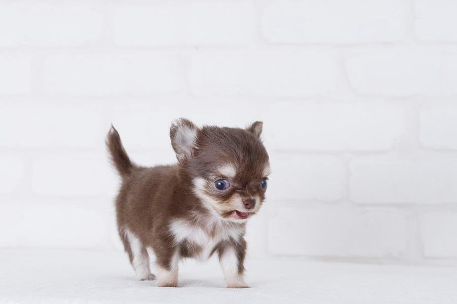 チワワの子犬の頭を押すと死亡する可能性も…?絶対に注意して欲しいこと