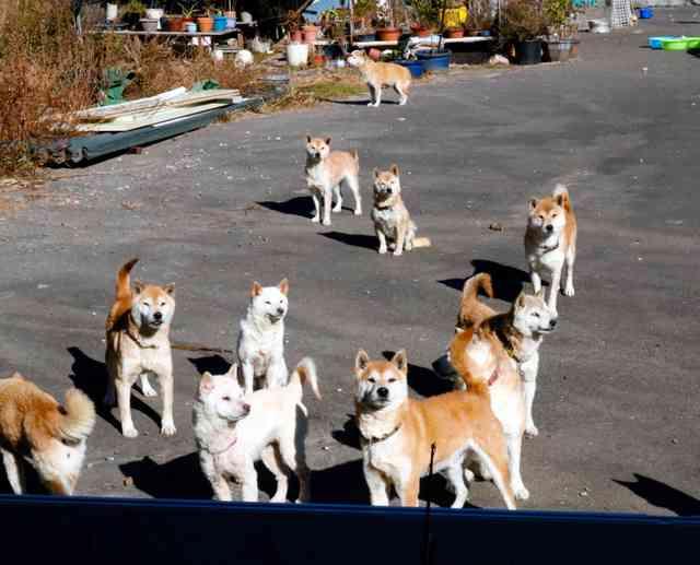 柴犬20匹残し、高齢の飼い主入院 相次ぐ犬猫の多頭飼育崩壊