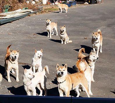 柴犬20匹残し、高齢の飼い主入院 相次ぐ犬猫の多頭飼育崩壊 (sippo) - Yahoo!ニュース