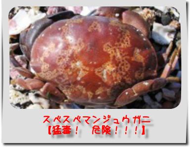 小笠原でカニの新種を発見 巣穴に合わせ「ぺったんこ」な形が特徴 「ペタンココユビピンノ」と命名