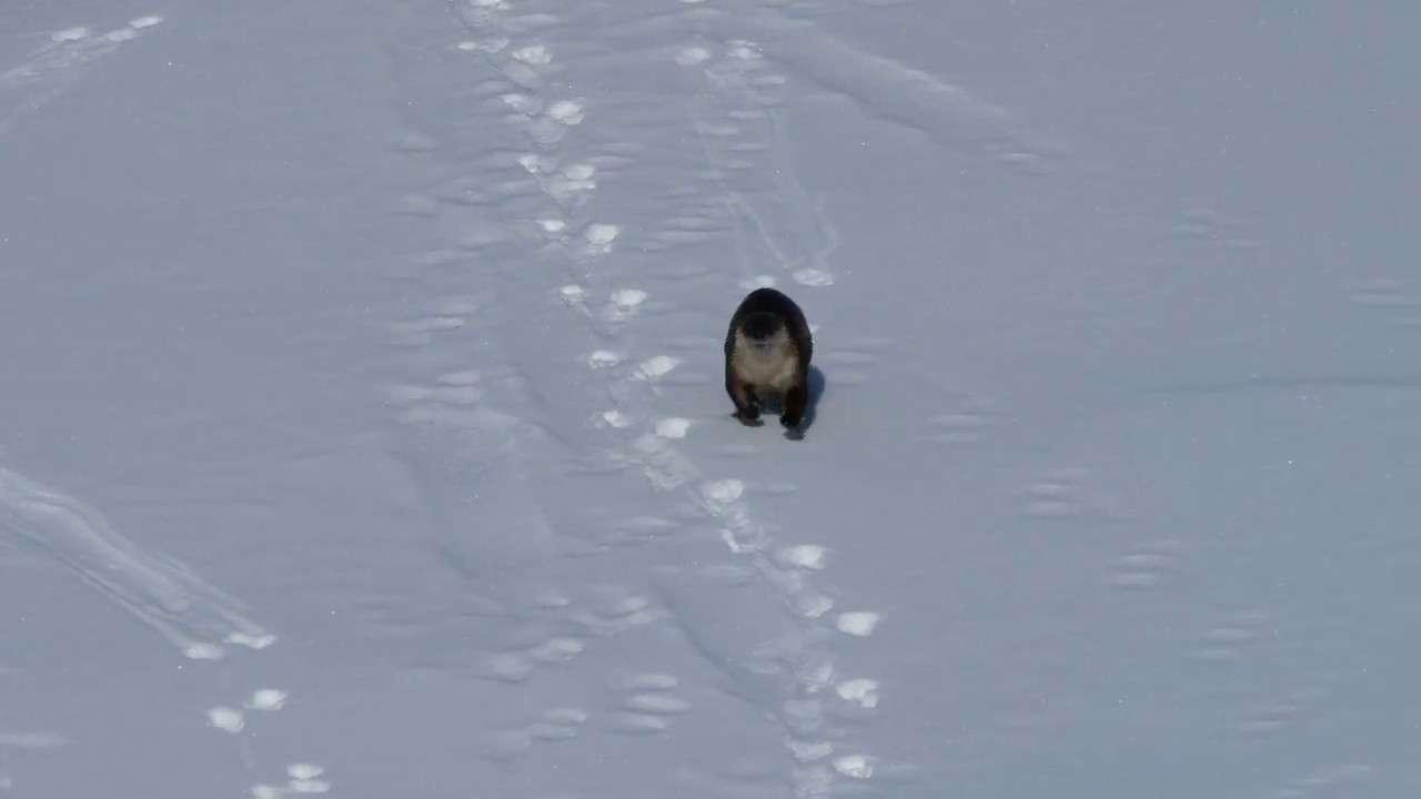 River Otter Sliding on Snow! - YouTube