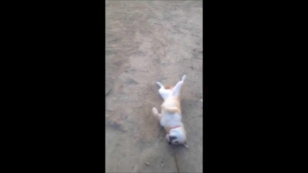 絶対に帰りたくない犬 - YouTube