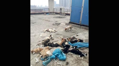 中国の医学生が動物実験に使った犬を屋上に遺棄し波紋が広がる|Tsunayoshi [ツナヨシ]