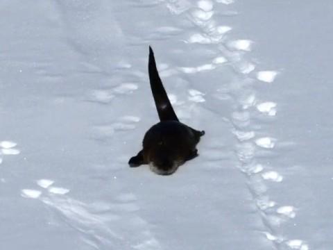 「楽しーい」雪を全身で楽しむカワウソ - 動画 - Yahoo!映像トピックス