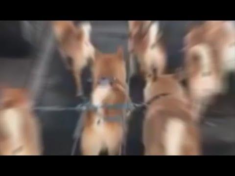 SHIBE ARMY - YouTube
