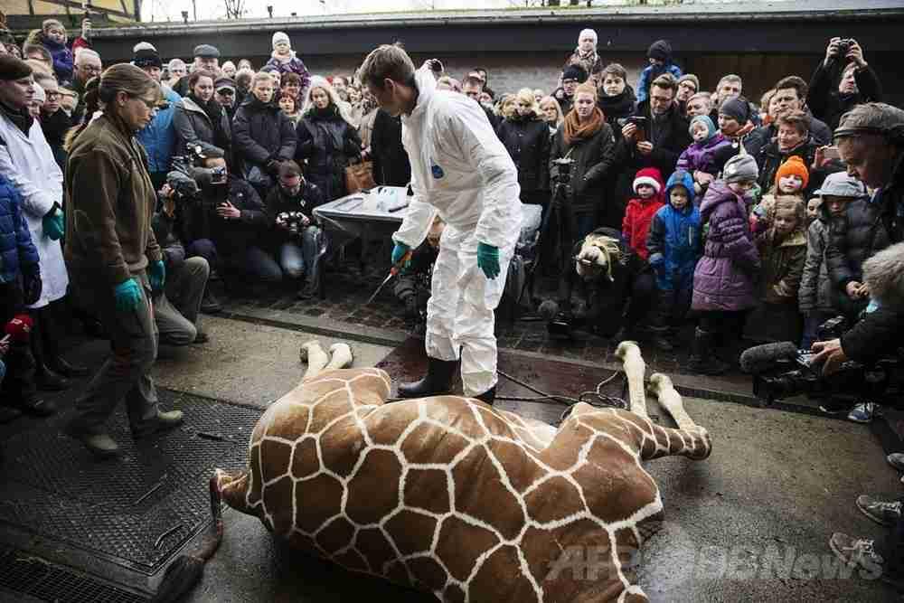 キリンを子供らの目前で解体、ライオンの餌に デンマーク 写真6枚 国際ニュース:AFPBB News