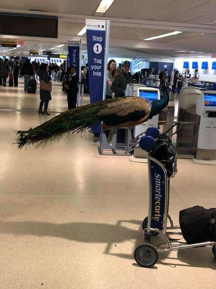 空港で女性がクジャクと一緒に搭乗しようとして止められる