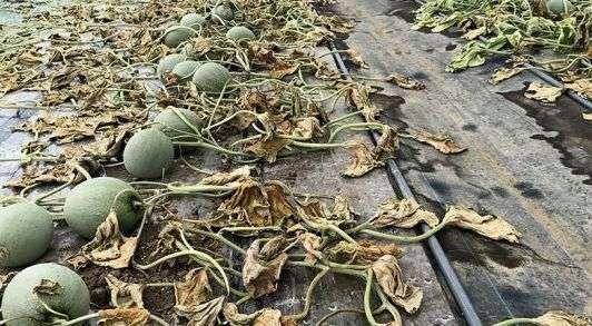 あるメロン農家が、農協抜けたのをきっかけに除草剤撒かれ全滅→その犯人は逮捕されたのか??※画像あり | ネタリブート
