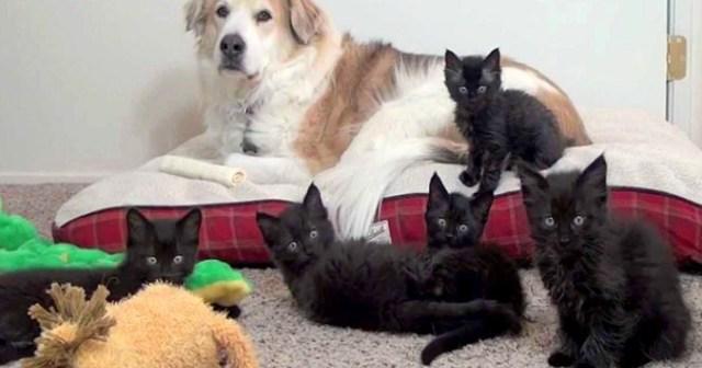 保護施設で暮らすバーニーズのもとに5匹の迷子だった黒子猫がやって来た!甘えすぎるかまってちゃんたちに・・・ | 犬クラスタ