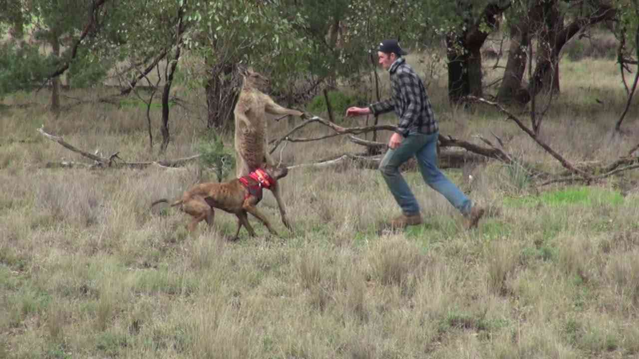 Man Punches a Kangaroo in the Face to Rescue His Dog (Original HD) || ViralHog - YouTube