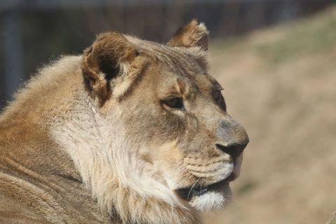 「私18歳」突然たてがみが生え始めたメスライオン 動物園が困惑