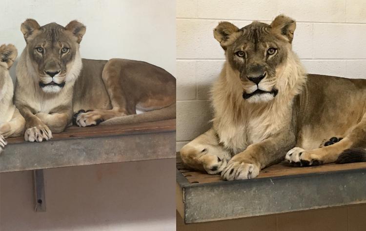 「私18歳」突然たてがみが生え始めたメスライオン 動物園が困惑 | ハザードラボ