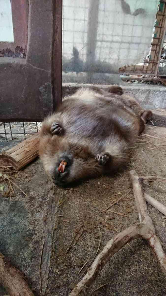 長崎バイオパーク公式さんの『#飼育員の心臓に悪い動物の寝相コンテスト』が驚きの連続「もっと見たい!」