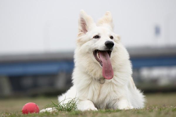 長毛犬が好きな方~もしくは飼ってる人~