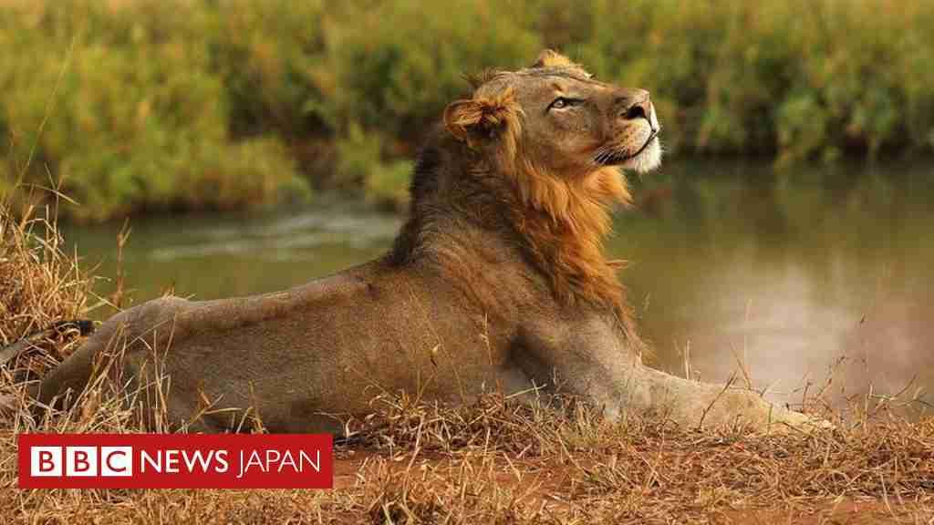 南アフリカのライオン、「密猟者」を食べる 頭だけ残し   - BBCニュース
