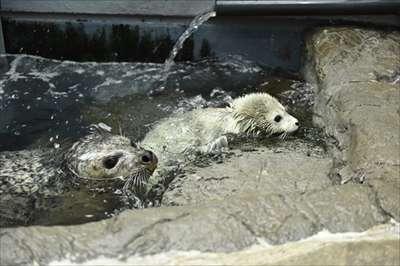 大阪・海遊館でゴマフアザラシの赤ちゃんが誕生 白くてぽよぽよで抱きしめたくなるかわいさ