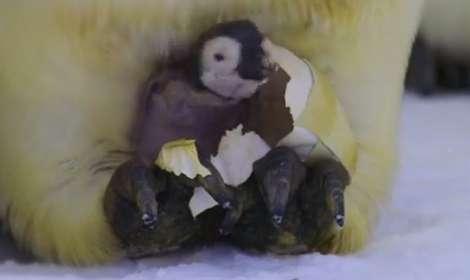 すごい…ペンギンの卵をゆでると「透明なゆで卵」ができる