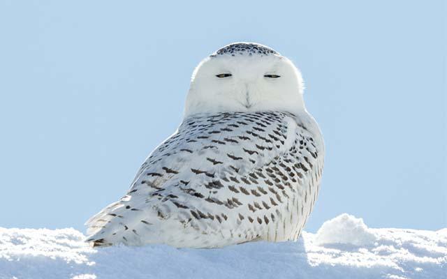 シロフクロウの隣に雪だるまを置いてみたら? 続く展開に、悶絶者続出!  –  grape [グレイプ]