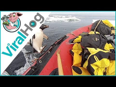 Penguin Jumps on Board Research Boat to Say Hello || ViralHog - YouTube