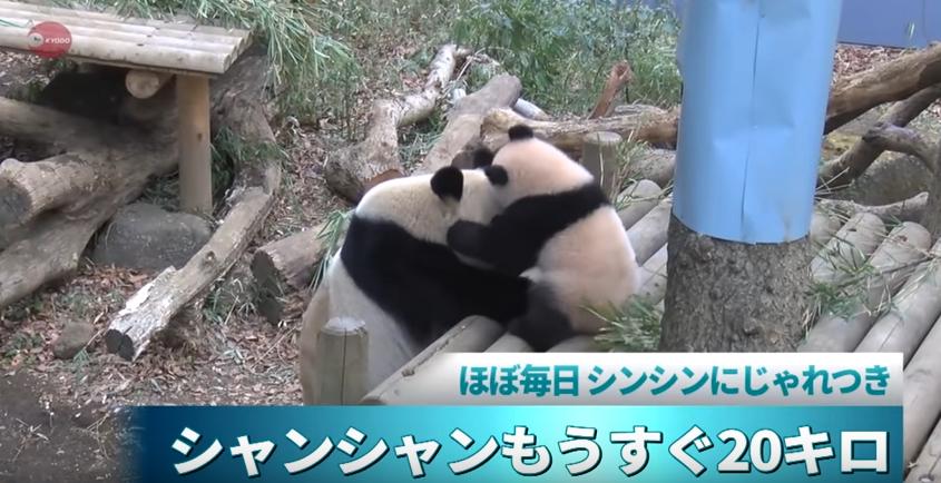 シャンシャンもうすぐ20キロ 上野動物園、近況をHPで公開