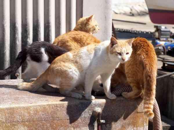 """猫の不妊・去勢は人間のエゴなのか? """"猫の島""""の青島で全猫に手術、猫を増やさない努力も必要だ"""