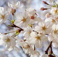 桜のお花見マナーガイド