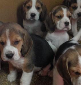【海外発!Breaking News】3,000匹のビーグル犬は動物実験向け。特殊ブリーダーの存在を認める英政府。 | Techinsight(テックインサイト)|海外セレブ、国内エンタメのオンリーワンをお届けするニュースサイト