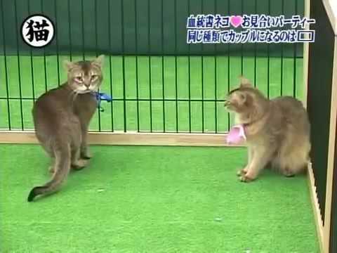 トリビアの泉「血統書付きの猫10匹がお見合いパーティーをやった時、同じ種類の猫同士がカップルになるのは10組中??組」 - YouTube