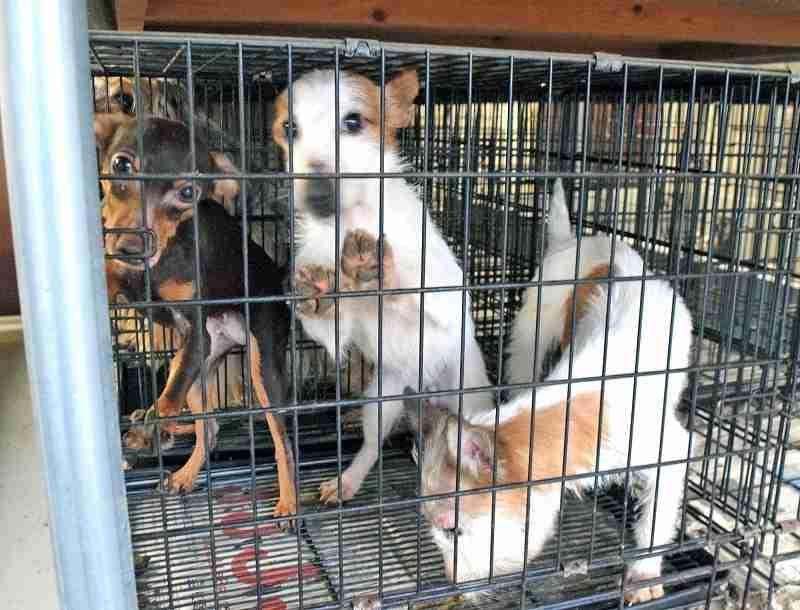 すし詰め子犬工場、地獄の光景 「マス」で飼育、強烈悪臭 | 社会 | 福井のニュース | 福井新聞ONLINE