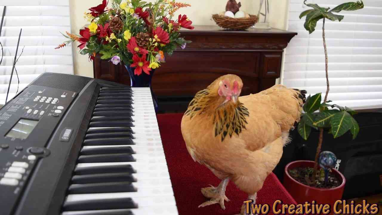 Chicken Plays Operatic Aria on Piano Keyboard - YouTube