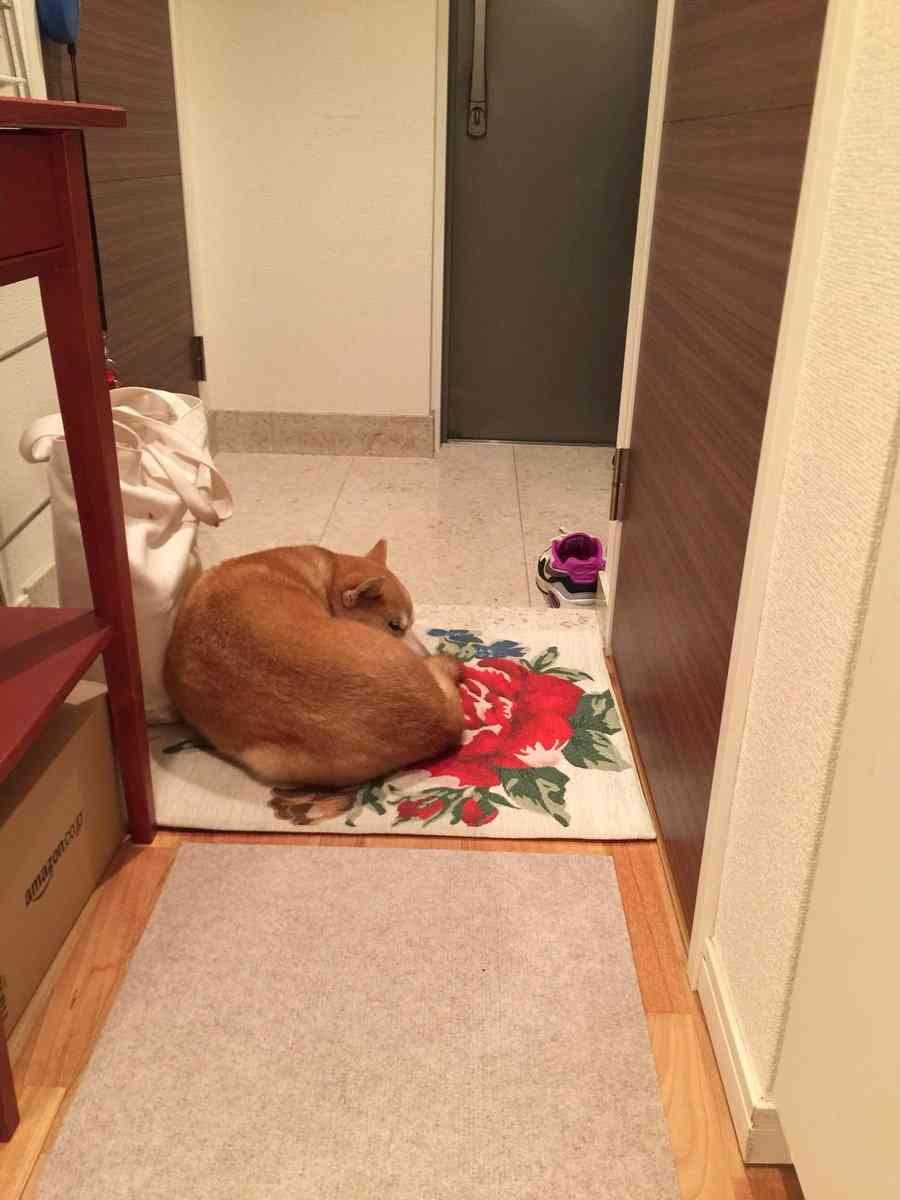注射こわかった…動物病院から帰宅後、玄関の隅でスネちゃった柴犬がかわいい