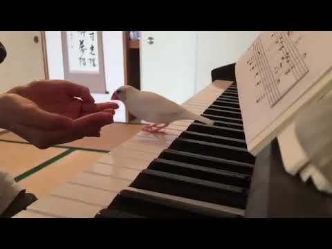 ピアノを嫌がる文鳥 - YouTube