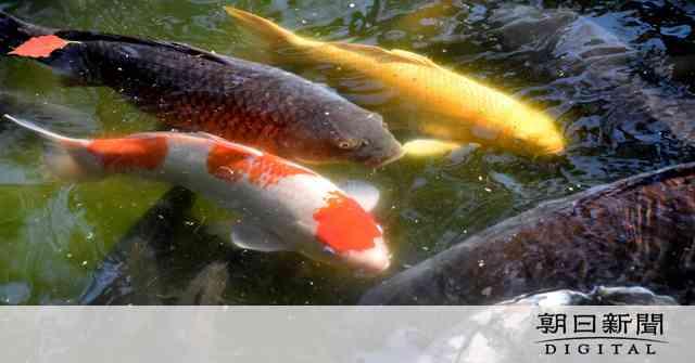 栗林公園でコイヘルペス、殺処分へ 江戸期から続く名勝:朝日新聞デジタル