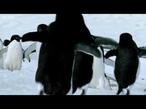 Flying Penguins | World Penguin Day | BBC - YouTube