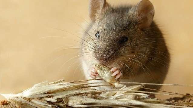 糖質制限「老化説」の問題 主食の異なるマウスでの研究は誤りか - ライブドアニュース