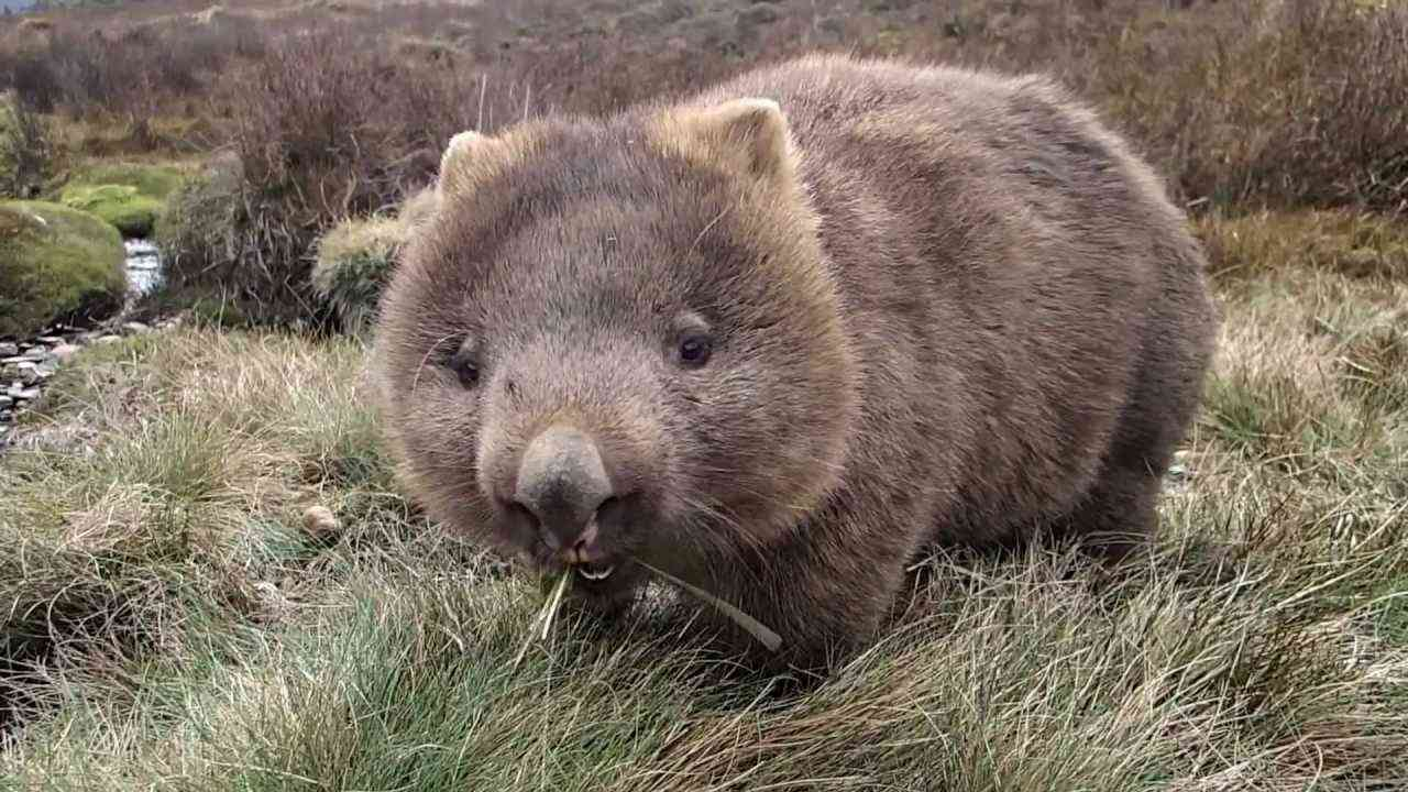 The best Wombat Movie ever been made!!! - YouTube
