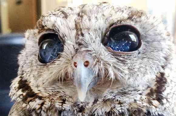 視力を失う代わりに瞳の中に宇宙を宿した。フクロウのゼウス、無事保護される(アメリカ) : カラパイア