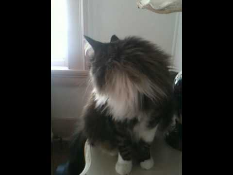 Our Maine Coon chirps and talks to wake us up - YouTube