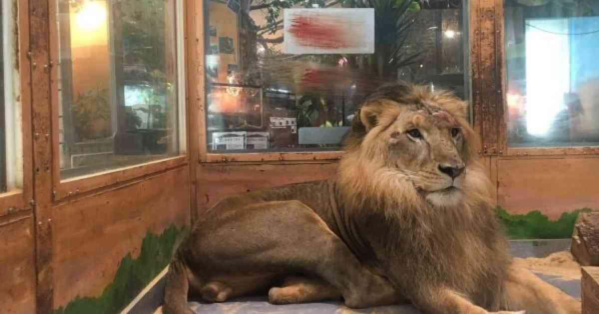 ピエリ守山でライオンが流血「生き地獄で本当にかわいそう」の指摘⇒運営側の認識は?【UPDATE】