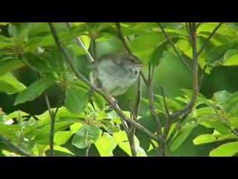 ウグイスの鳴き声 Singing Bird (Japanese Bush Warbler) - YouTube