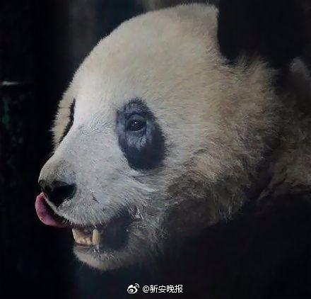 脱毛パンダ相次ぐ=目の周り、原因不明-中国・成都