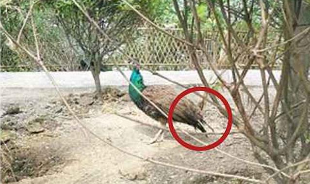中国の動物園でクジャクの羽が強引に引き抜かれる 過去にも同様の被害 (2018年5月1日掲載) - ライブドアニュース