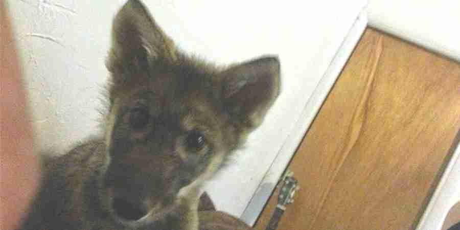 可愛い子犬を引き取りました!と思ったら実は狼だった・・・そんな元飼い狼のネオン君。 - ペット日和