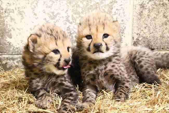 姫路セントラルパークでチーターの双子ちゃんが誕生 1頭は希少な模様のキングチーター