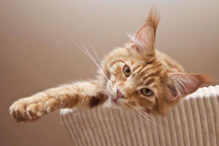 猫の耳先から伸びた耳毛。じつは「リンクスティップ」というんです | PECO(ペコ)