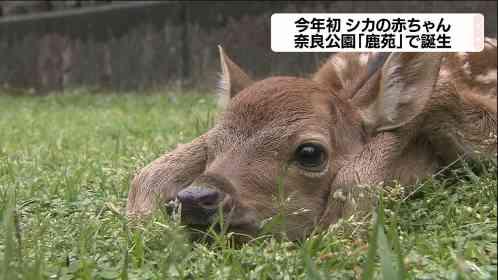 奈良公園の鹿苑でバンビ第1号|MBS 関西のニュース
