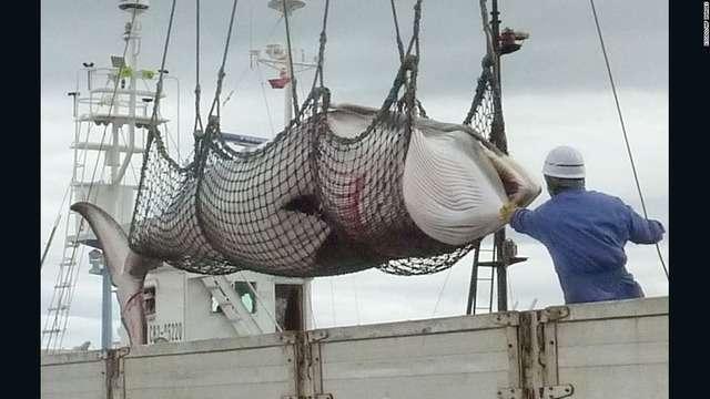 「日本が妊娠クジラ122頭殺した」 保護団体などが非難