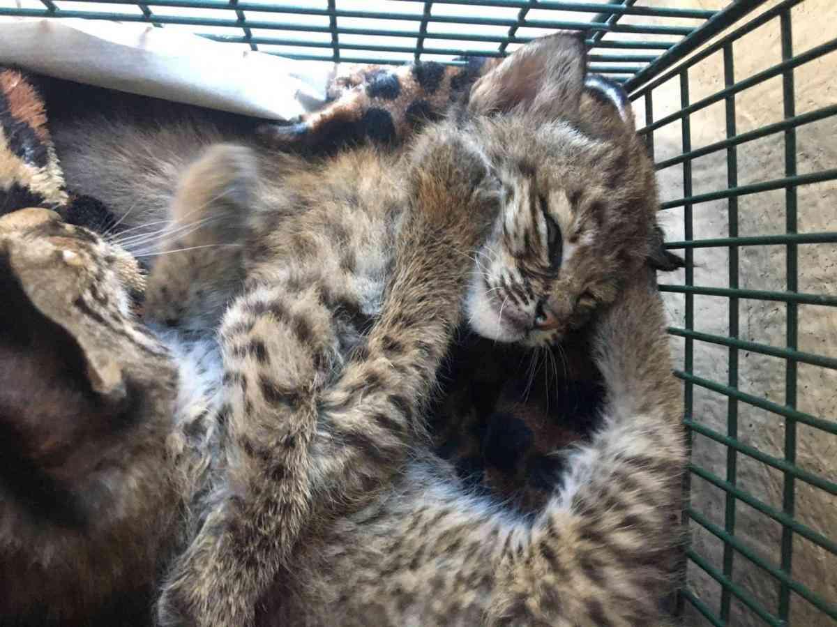 'Hello kitties' turns to 'beware bobcats' in Texas | Reuters